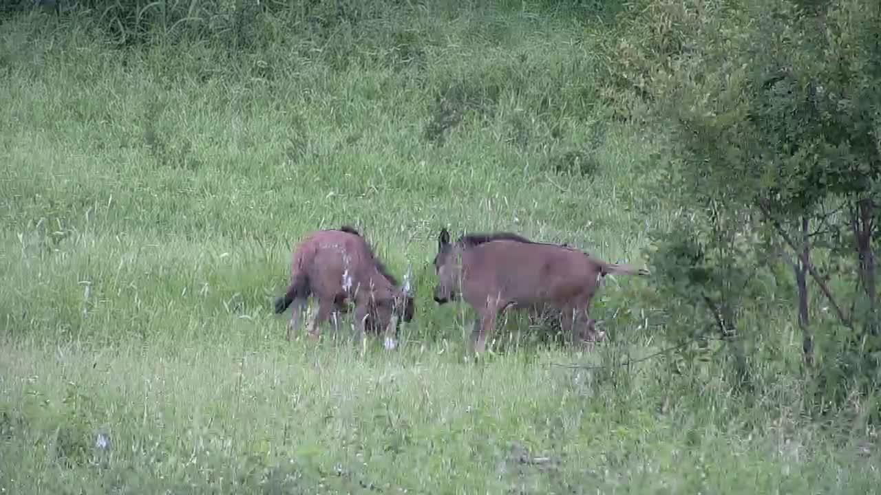 VIDEO:  Blue Wildebeest babies playing around