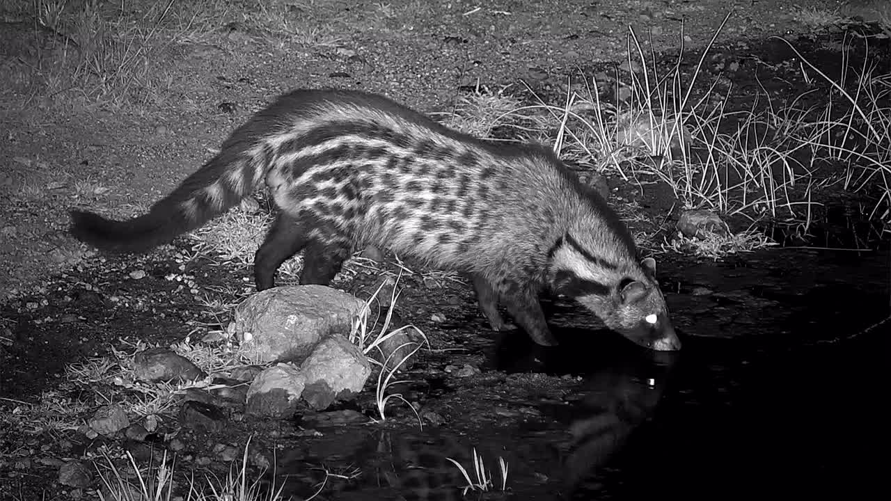 VIDEO:  Civet on the prowl but first a drink
