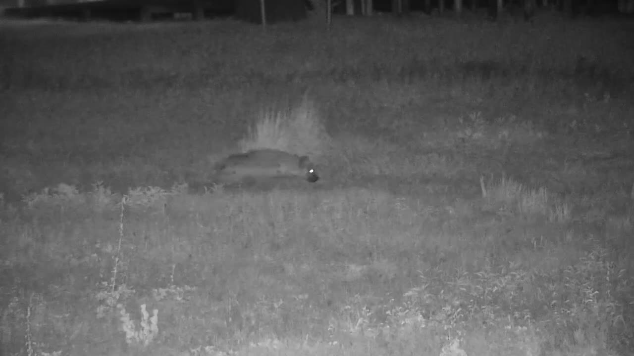 VIDEO: Hyaena on the prowl