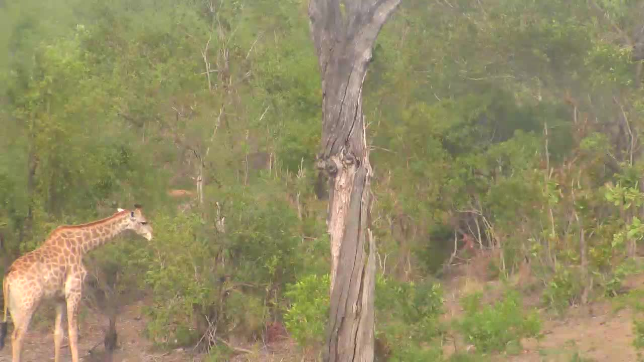 VIDEO: Giraffe at Idube