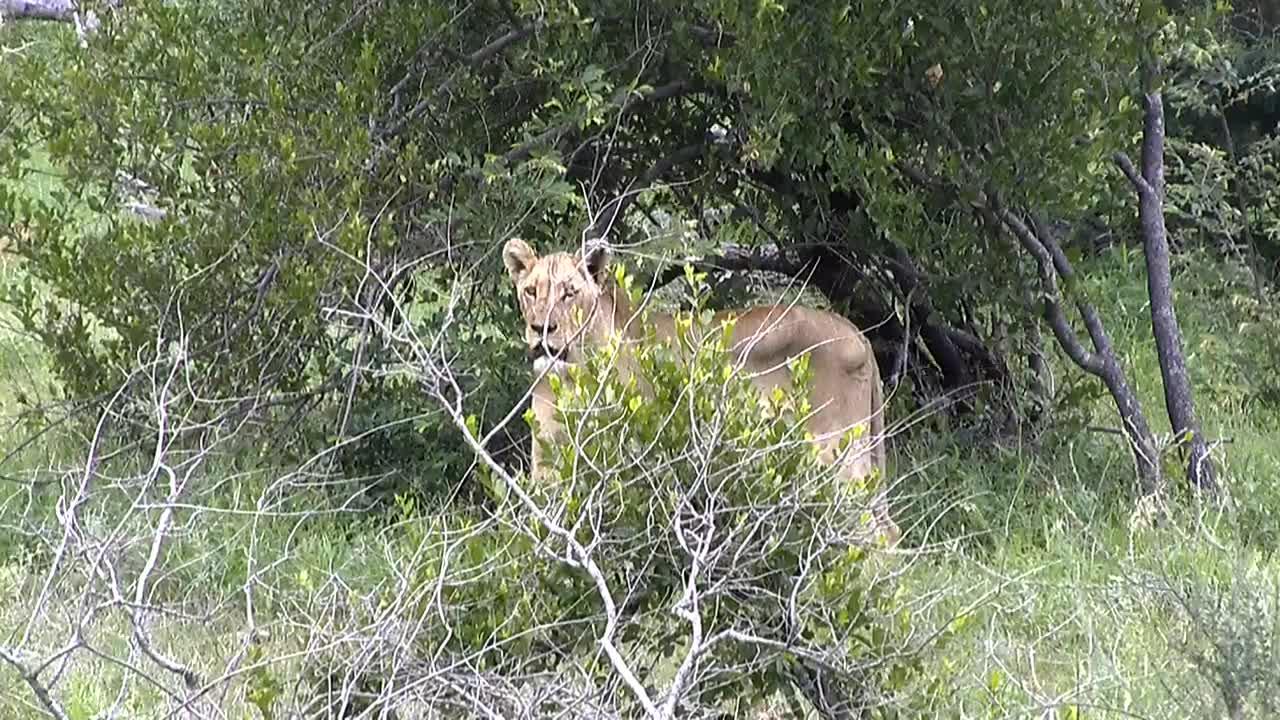 VIDEO: Lion Behind a Bush
