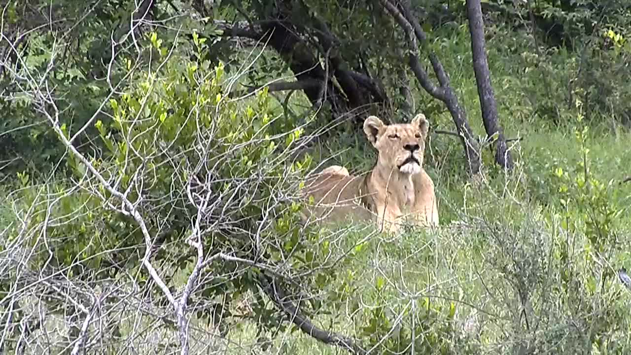 VIDEO: Lioness relaxing in the shade