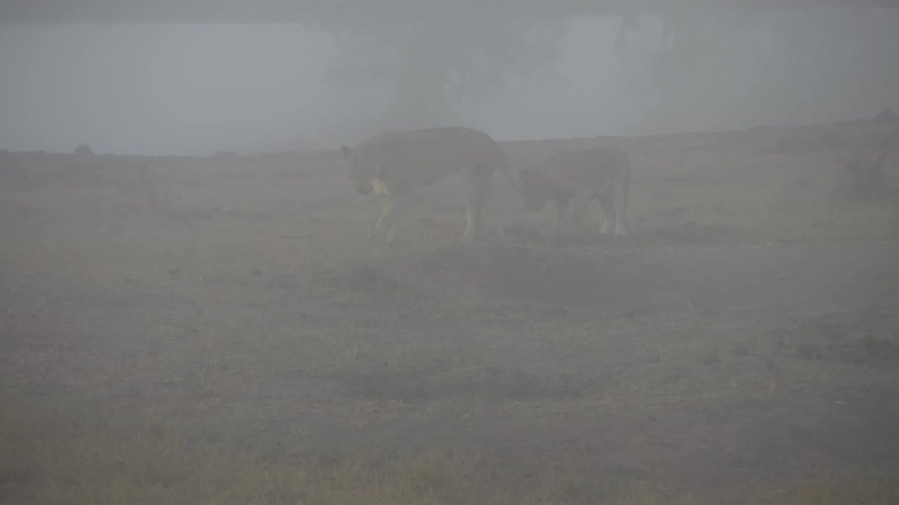 VIDEO: Lioness and her 4 cubs playing in the early morning fog Part 2