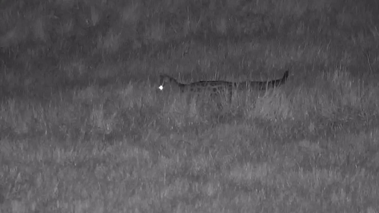VIDEO:Large Spotted Genet out and about
