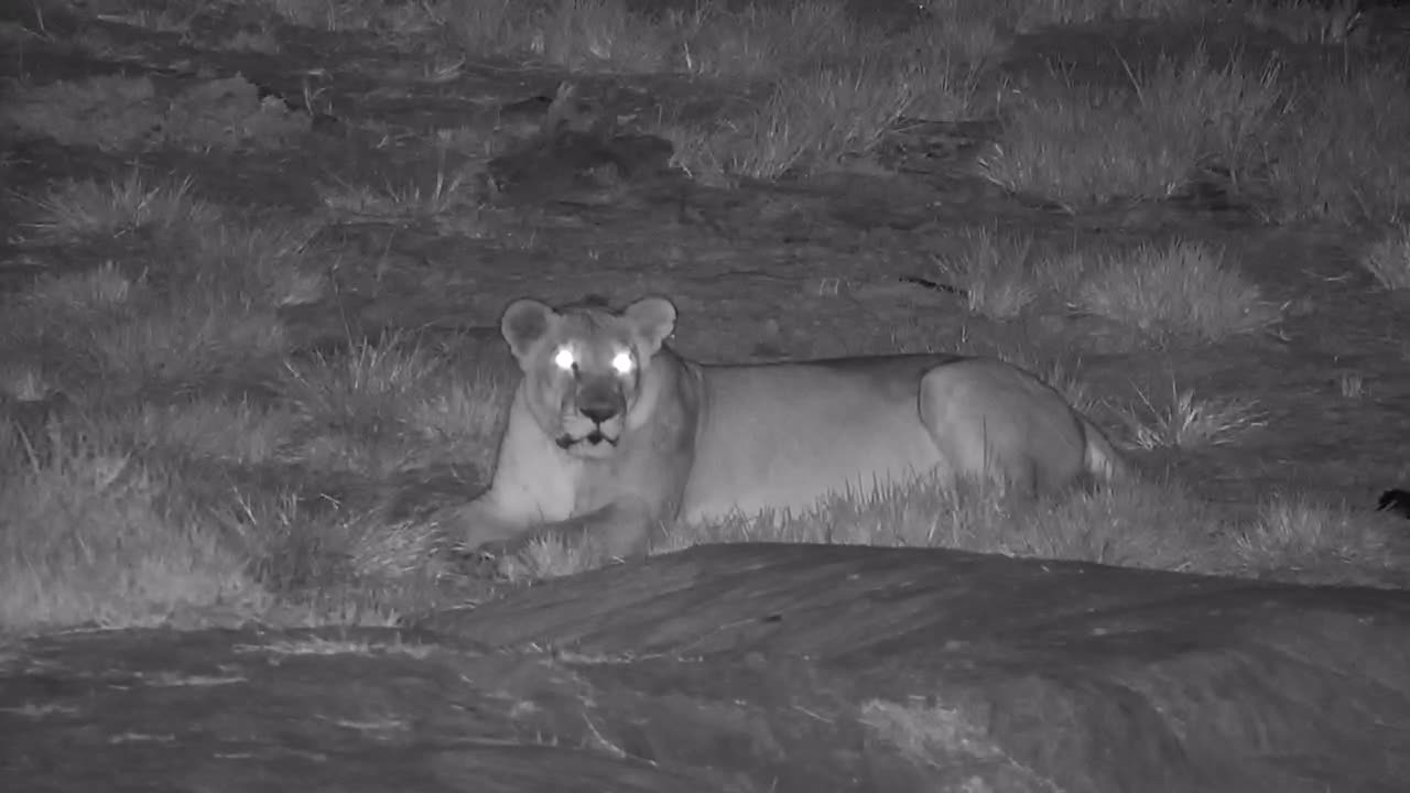VIDEO: Mom Lion waitng for her son