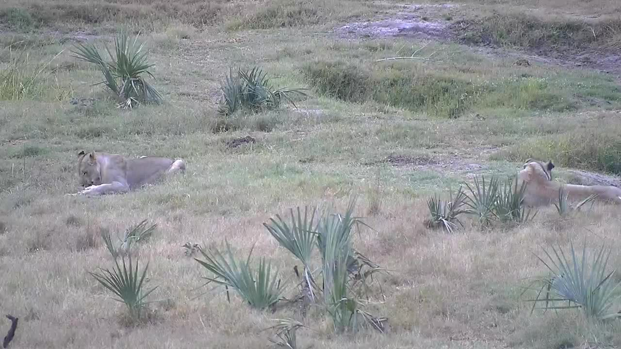 VIDEO: Lion caught a baby Nyala (WARNING:GRAPHIC CONTENT)