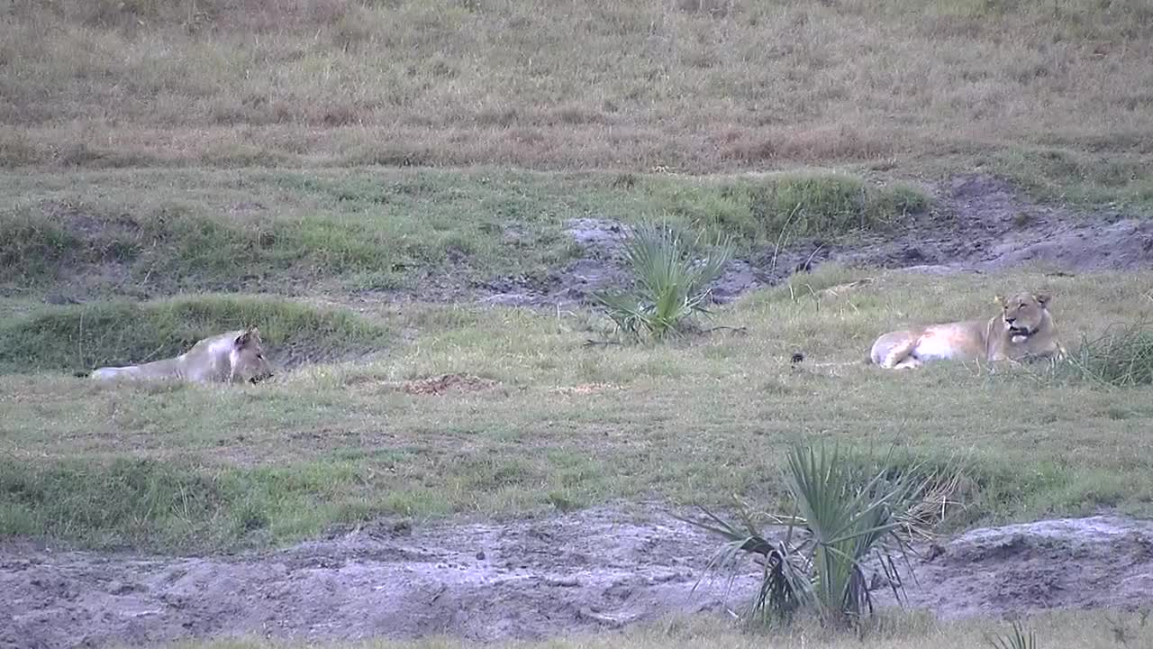 VIDEO: Lion caught a baby Nyala PT3 (WARNING:GRAPHIC CONTENT)