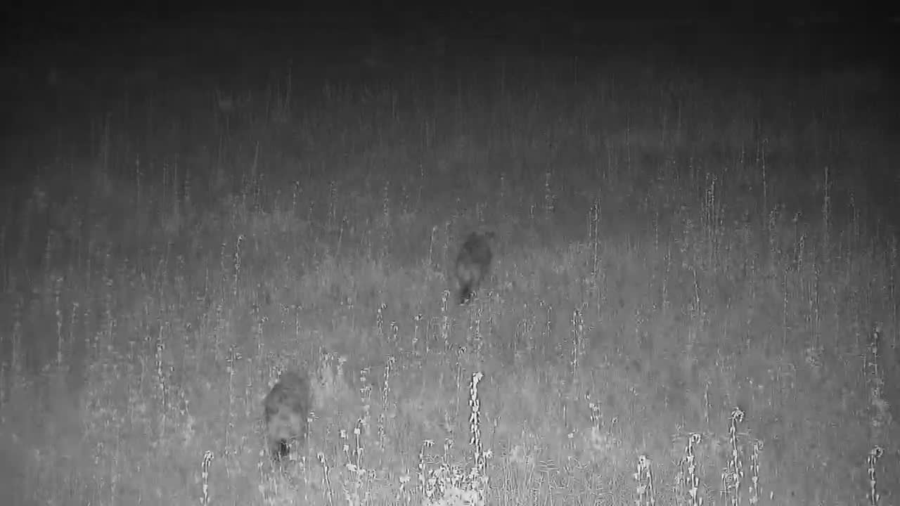 VIDEO:  Impalas watch 2 Hyaenas passing by