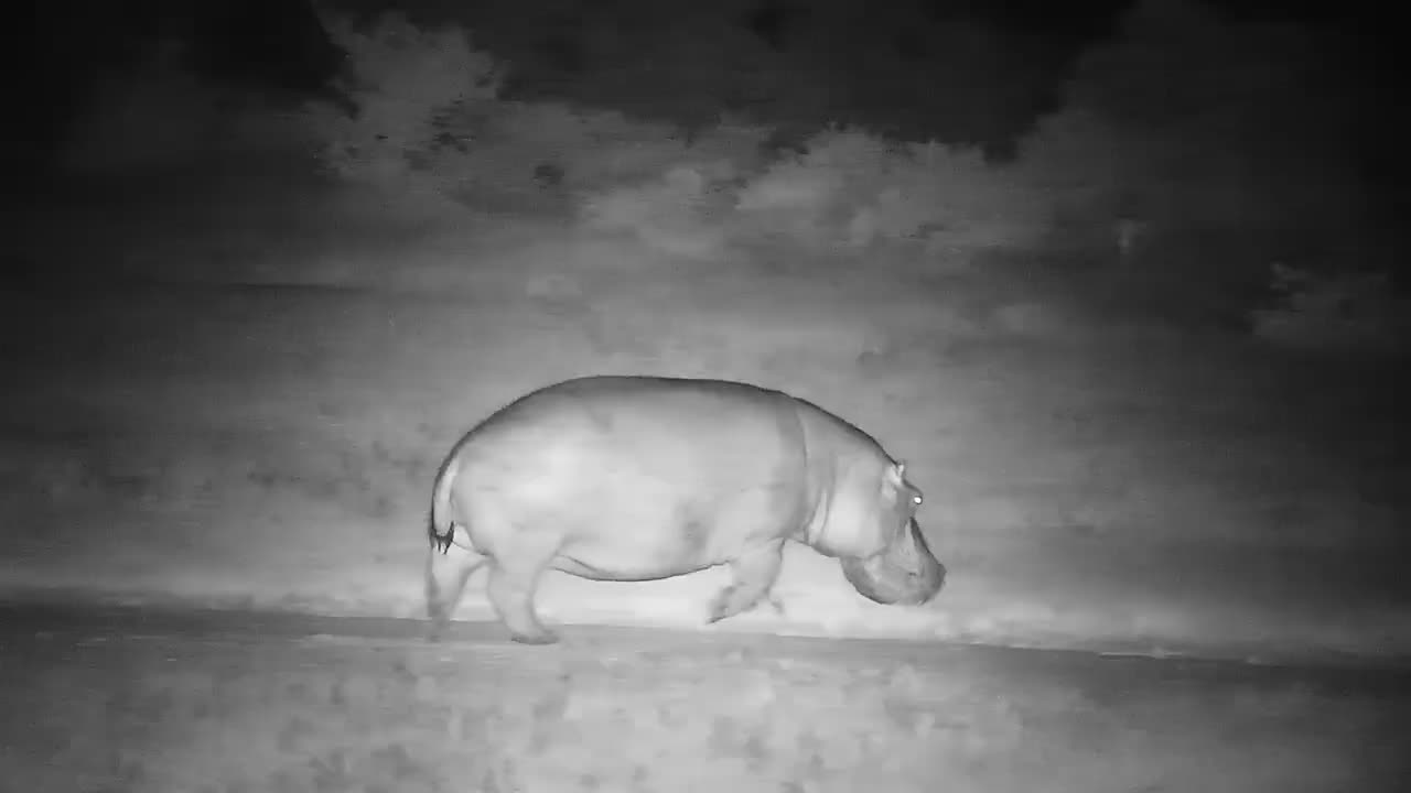 VIDEO:  Hippo passing by