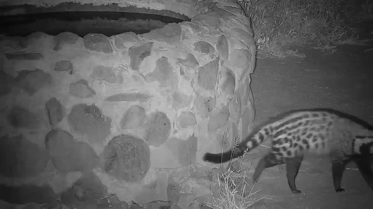 VIDEO: Civet tries to reach the water in the well