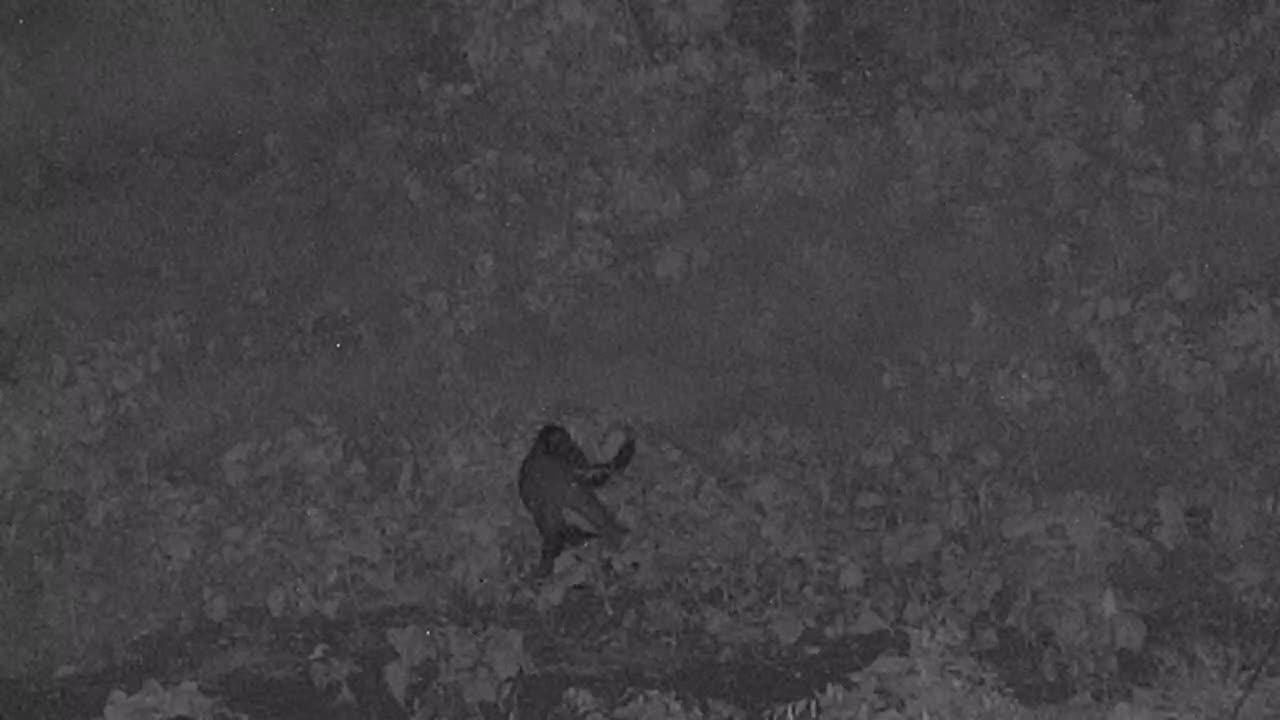 VIDEO: Civet sniffing around