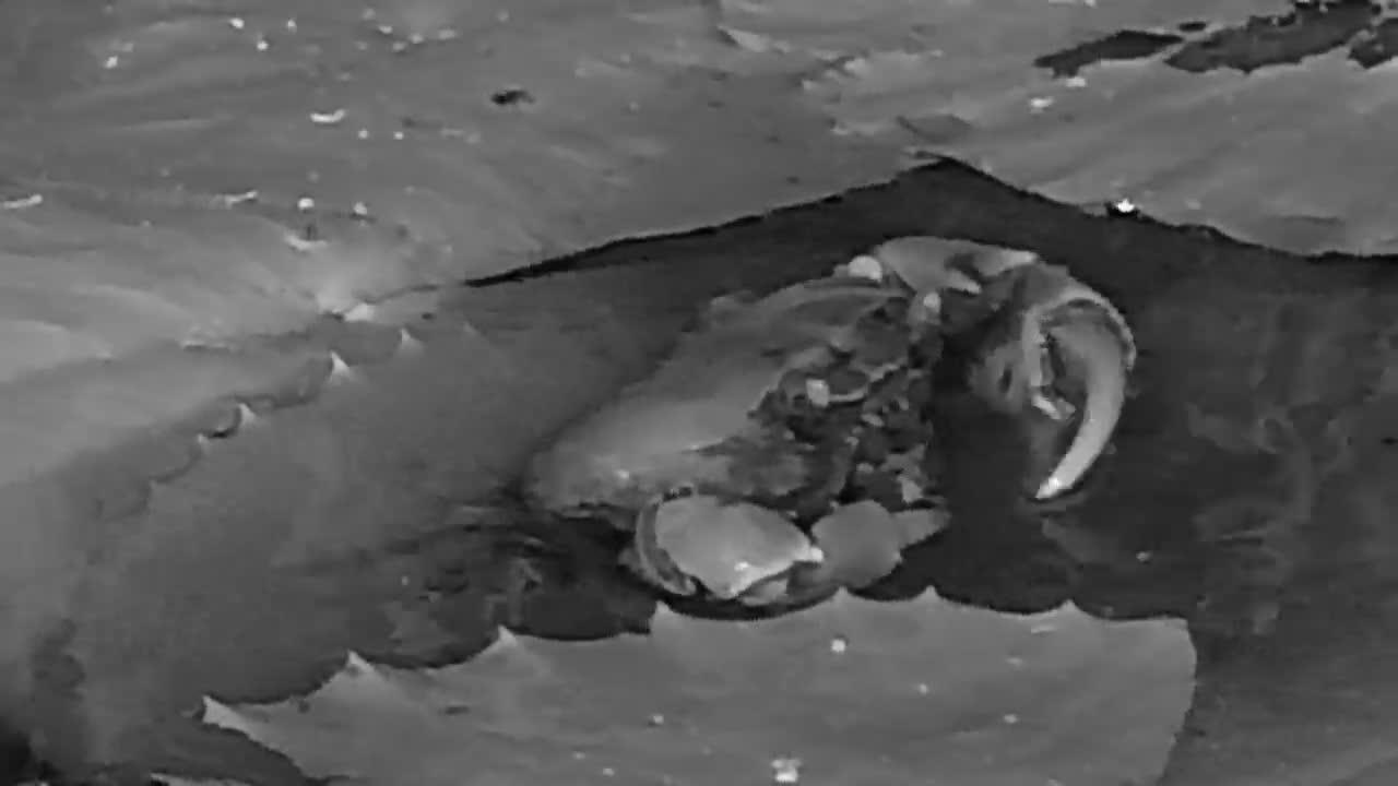 VIDEO: River Crab feeding