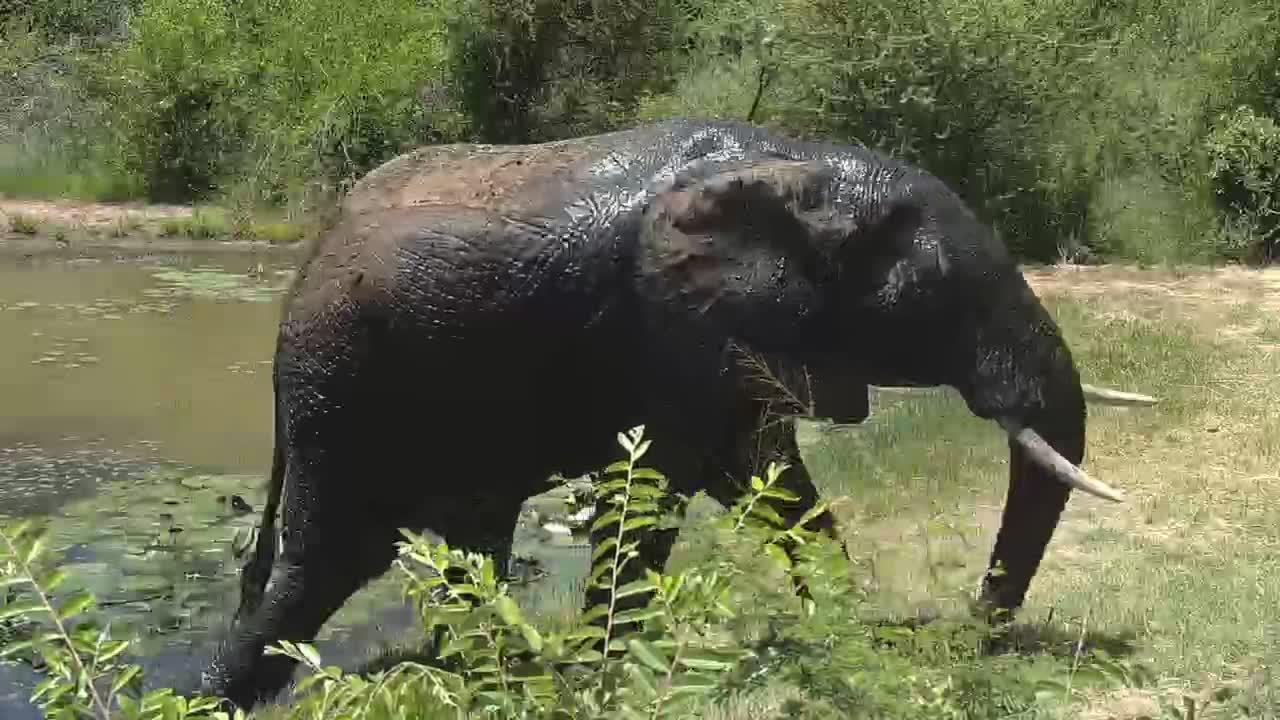 VIDEO: Elephant bull taking a bath