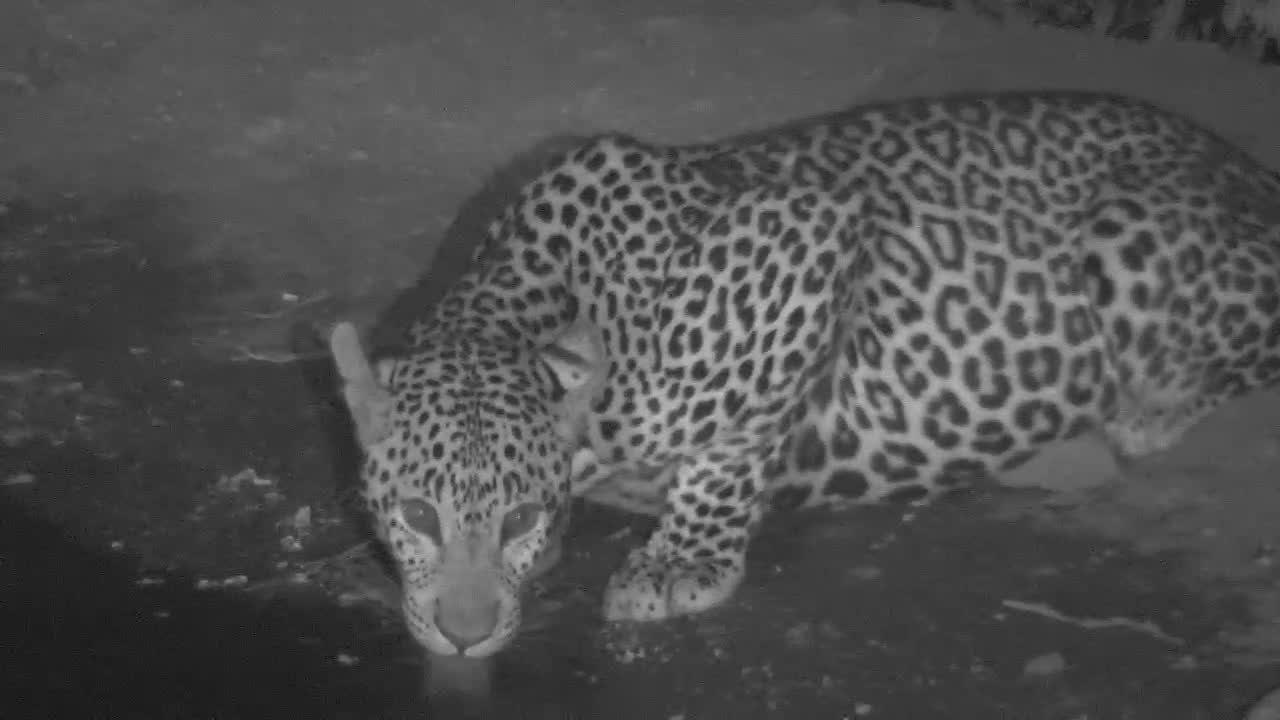 VIDEO:  Leopard with a full belly having a long drink