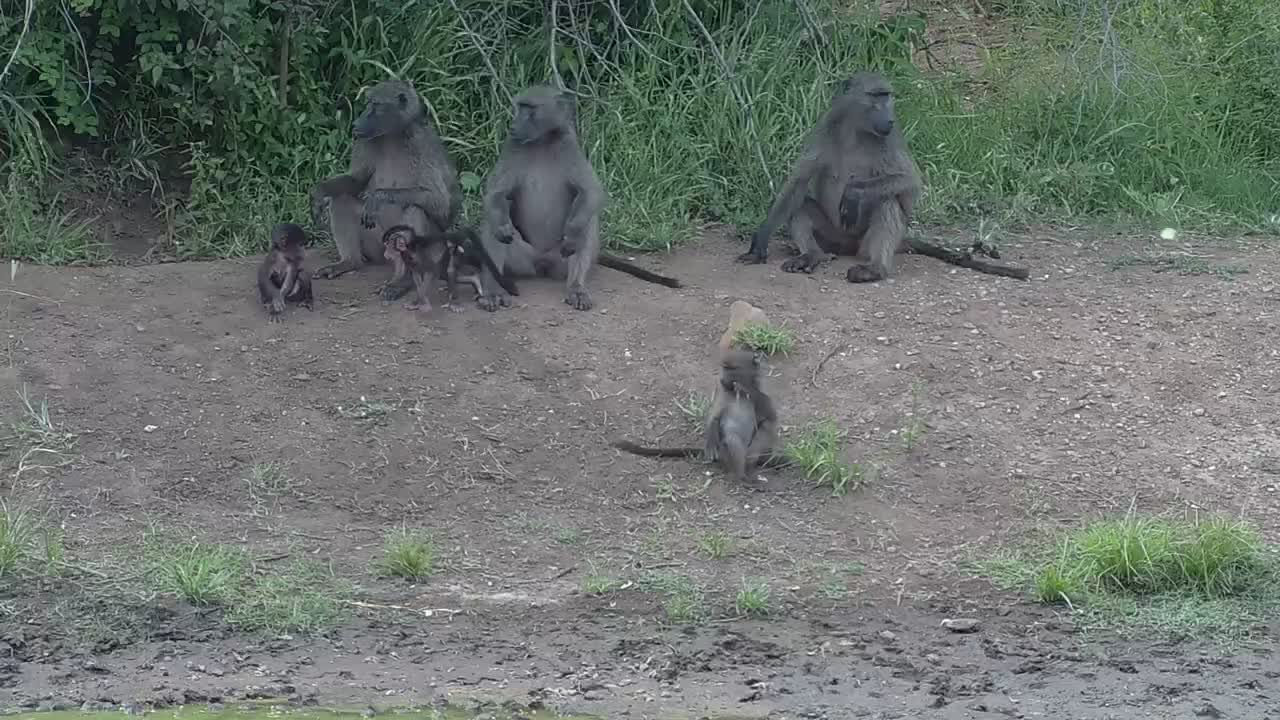 VIDEO: Baboon moms with youngsters