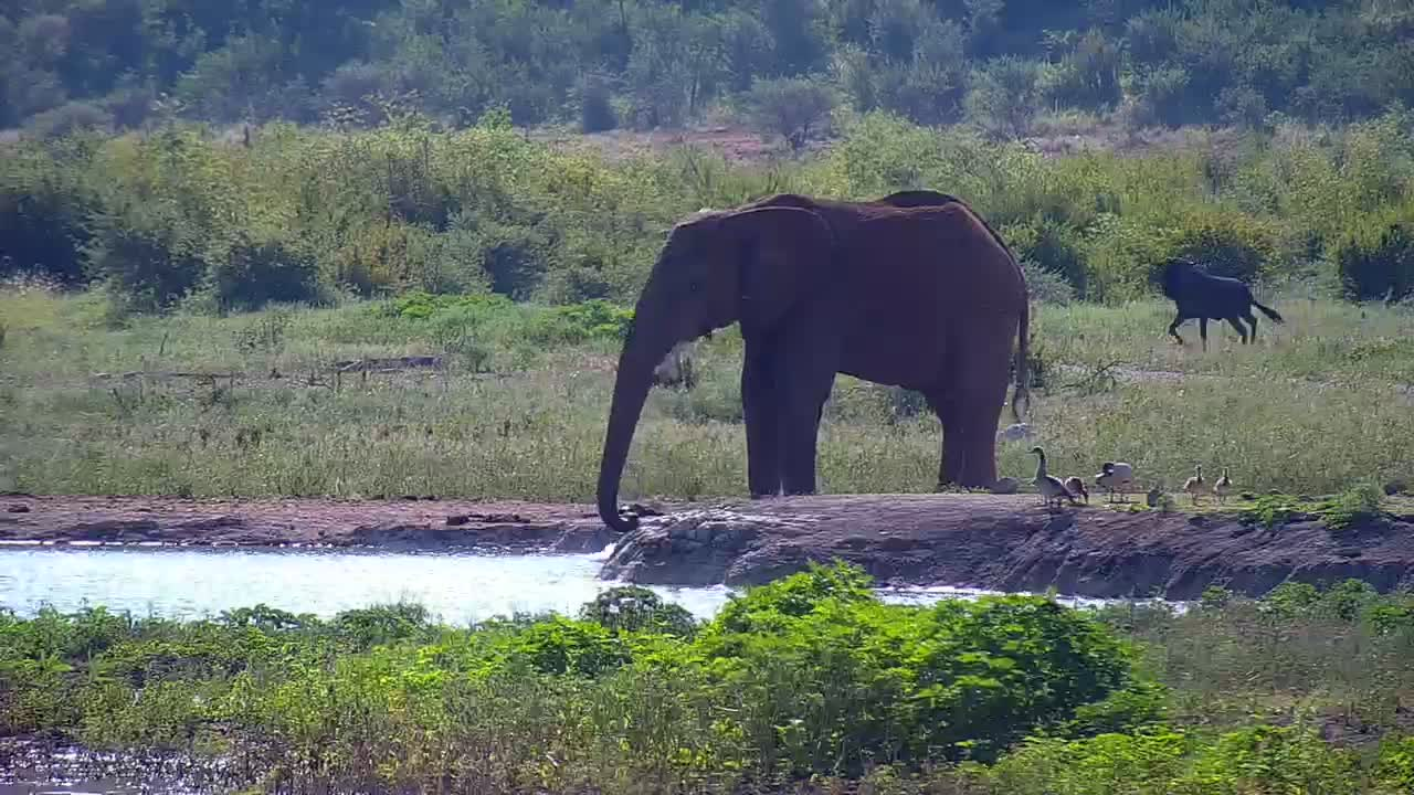 VIDEO: Elephant followed by a Lion alarms the Zebras while a Wildebeest  watches
