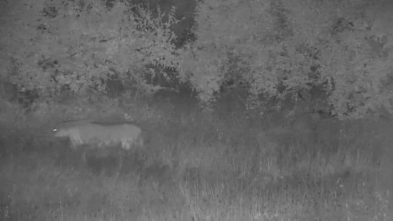 VIDEO: Lion on the hunt