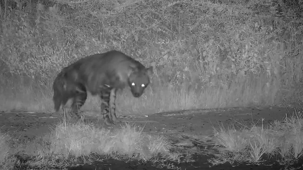 VIDEO: Brown Hyaena