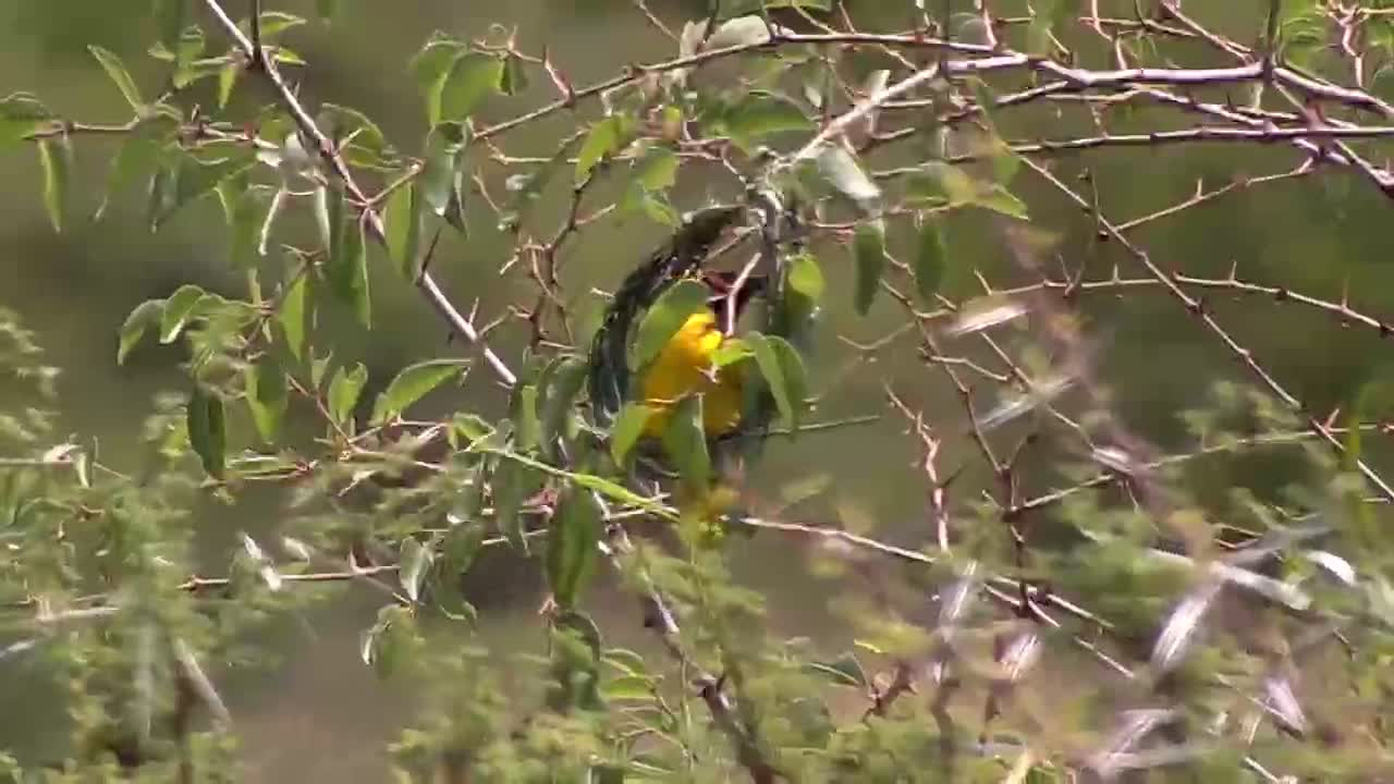 VIDEO: Southern Masked Weaver weaving his nest
