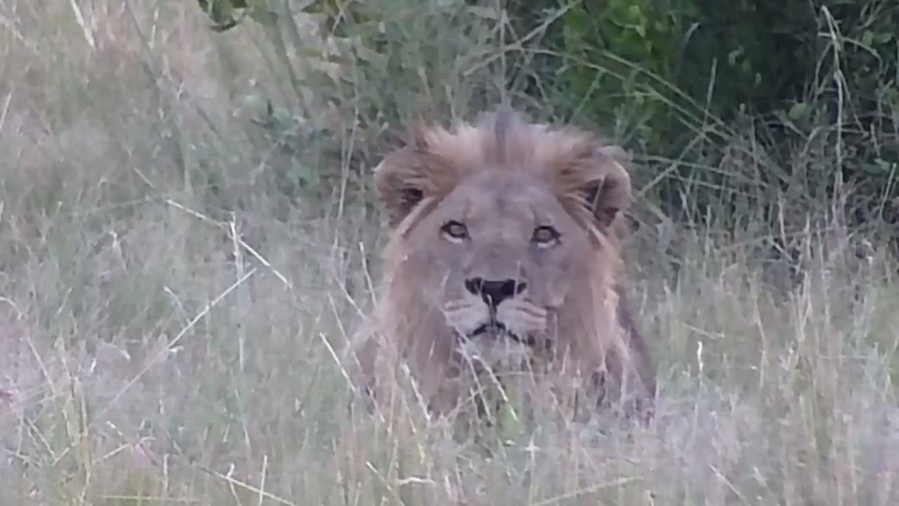 VIDEO: Lion in the tall grass observes the area