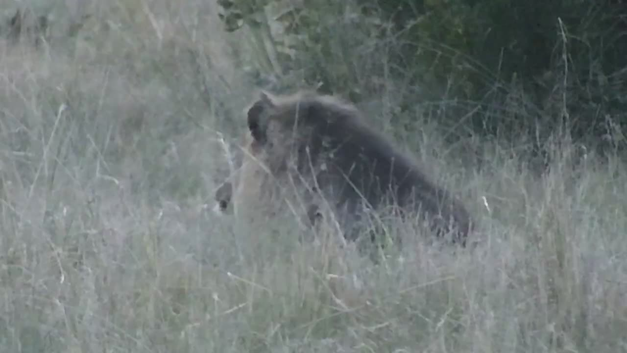 VIDEO: Lion roared briefly, got up and wandered through the open field into the thicket