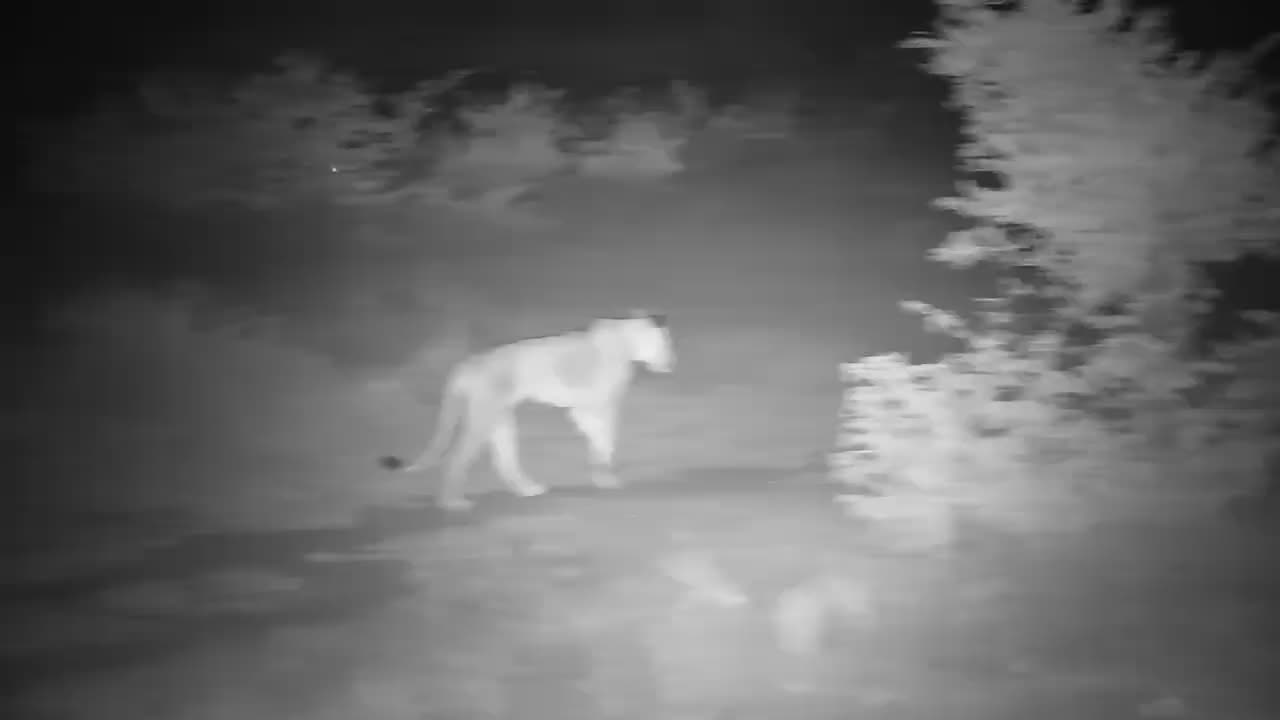 VIDEO: Lioness on the move