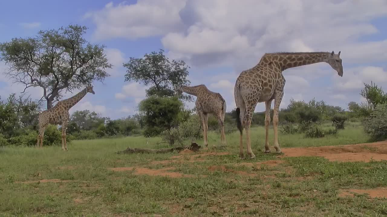 VIDEO: Giraffes - very attentive - try to drink and eat the leaves of the bushes