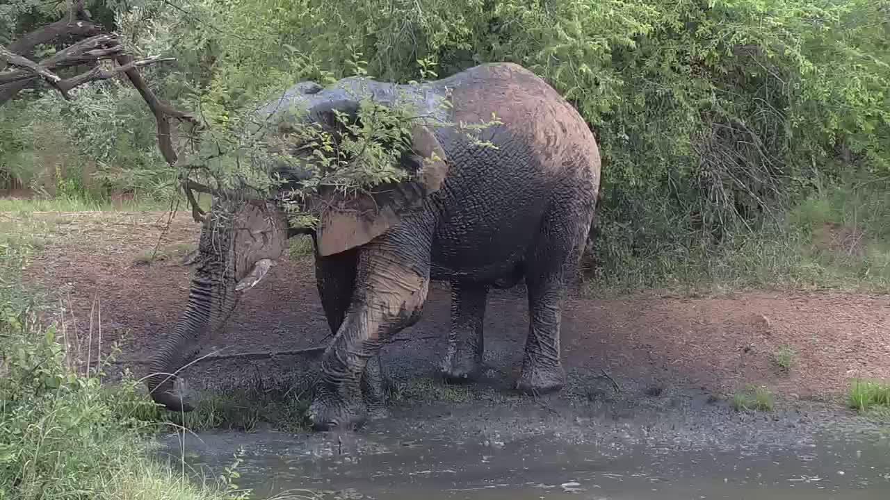 VIDEO: Elephant takes a shower and went into the thicket