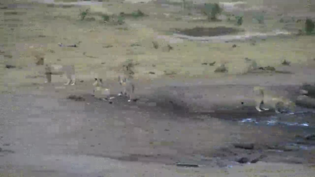 VIDEO: Lioness with her cubs, thirsty with full bellies