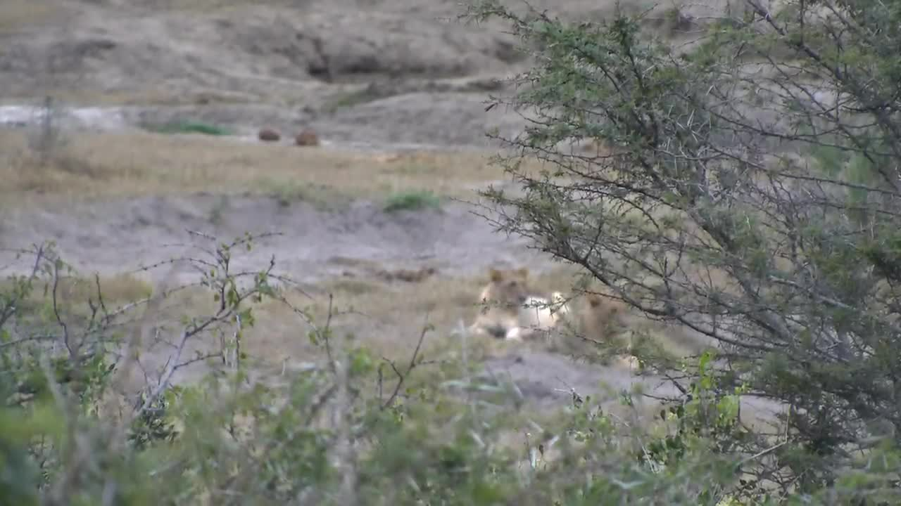 VIDEO: Lions take it easy after drinking water