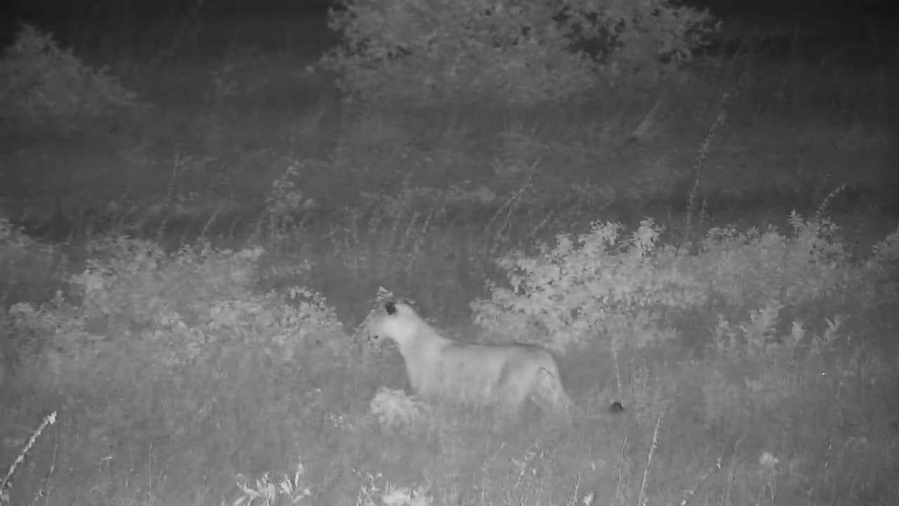 VIDEO: Lioness sees something
