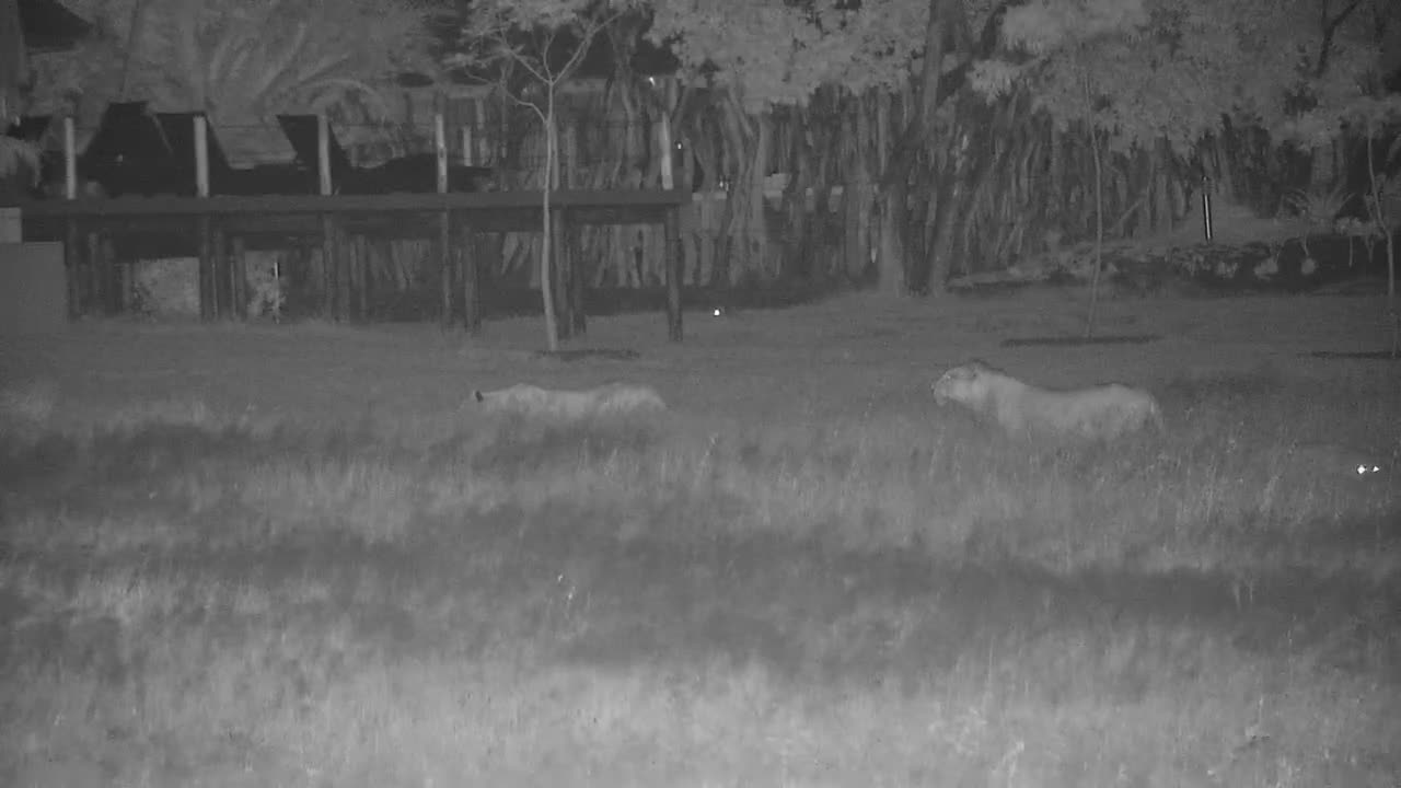 VIDEO: Lions stalking Impalas and the chase is on
