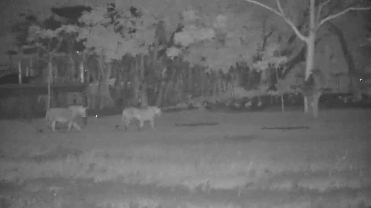 VIDEO: Lions passing by the lodge