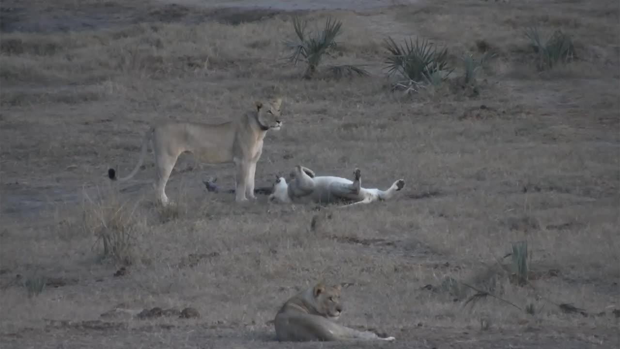 VIDEO:Lion family enjoying sunset