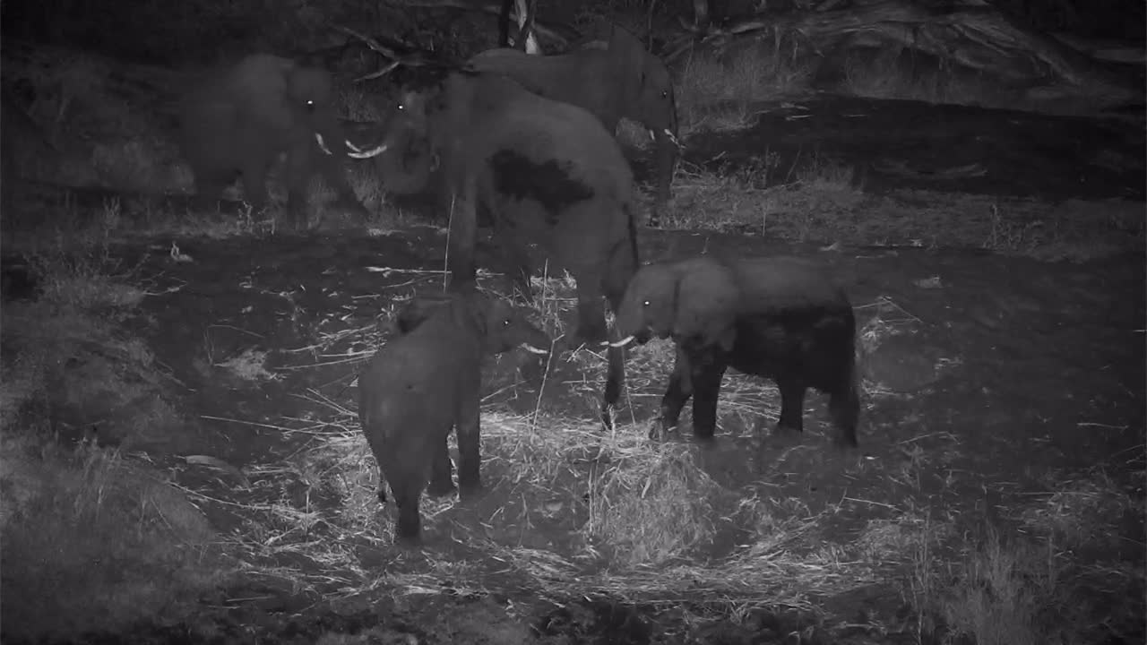 VIDEO:Elephants Grazing on the Riverbank