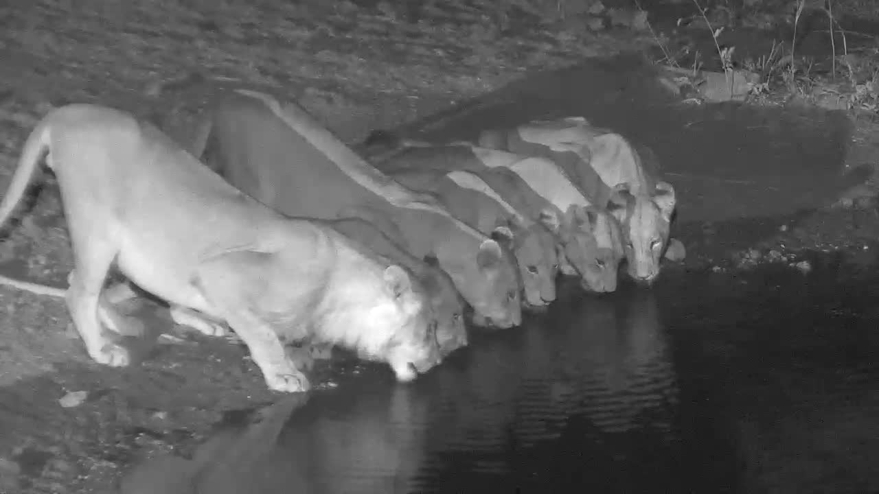 VIDEO: 6 very thirsty Lions came for an extensive drink to the waterhole