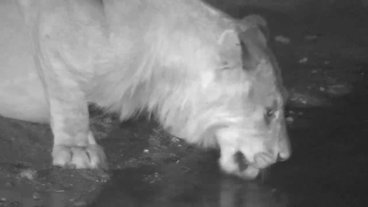 VIDEO: Lion - it seems he does not want to stop drinking.