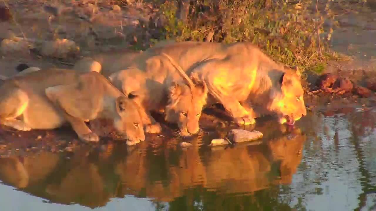 VIDEO:Lions at waterhole