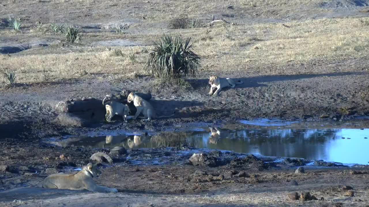 VIDEO:Lioness and her 3 cubs playing in the area around the waterhole
