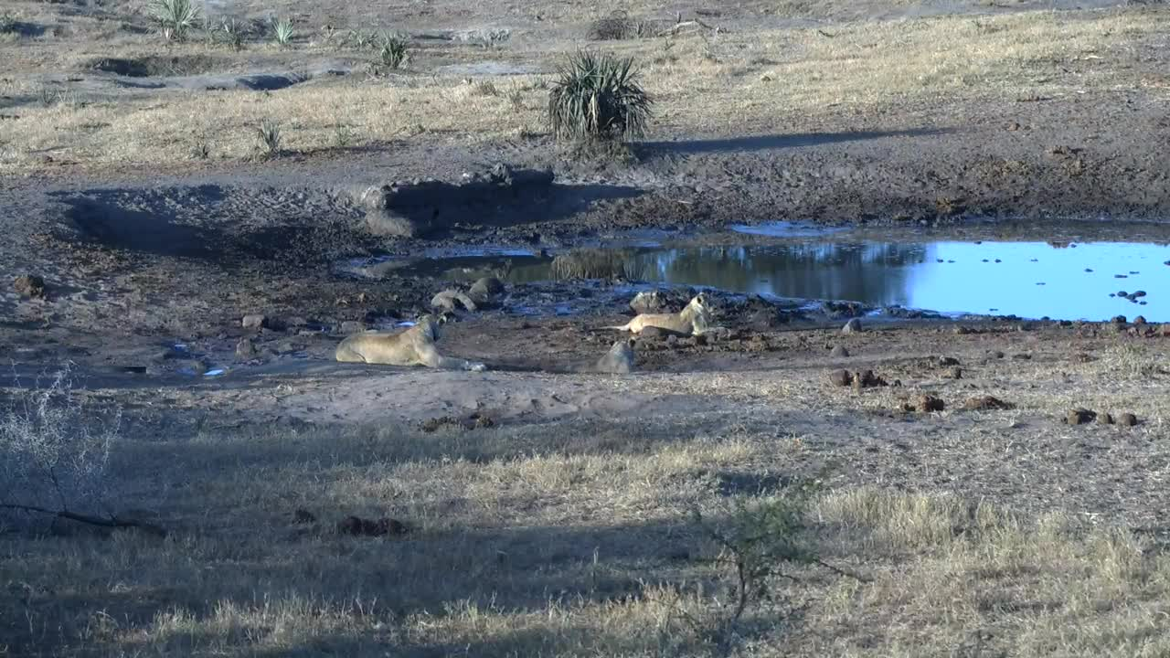 VIDEO:Lioness and her 3 cubs playing in the area around the waterhole PT2