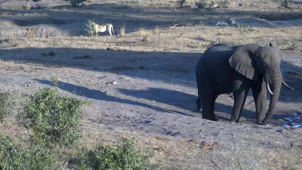 VIDEO: Lions and Elephants together at the waterhole - both are not pleased to see the other