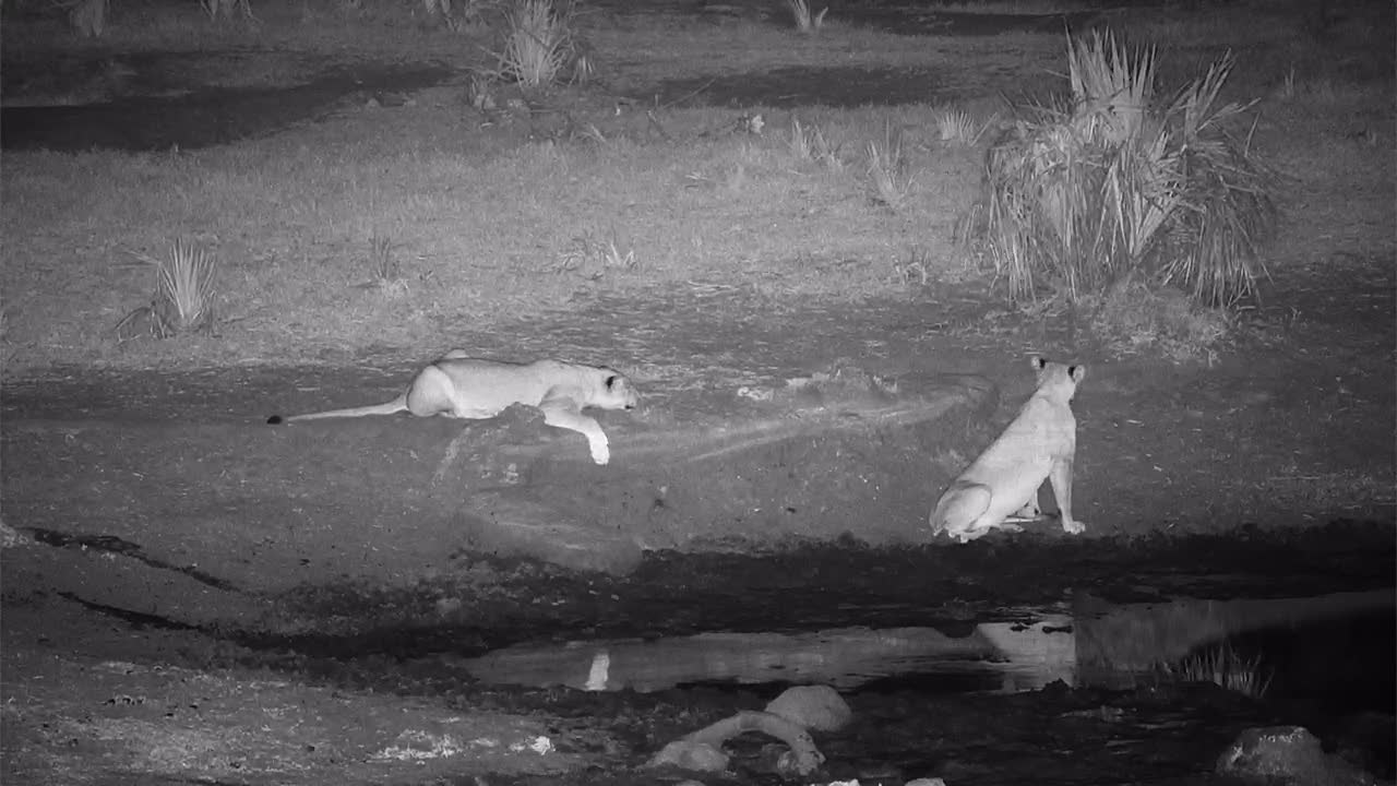 VIDEO: Two lions cubs - one catches his tail - play - or are there already rankings?