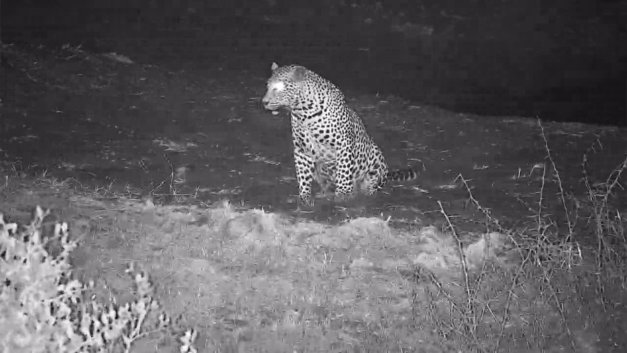VIDEO:Leopard Hunting at the waterhole