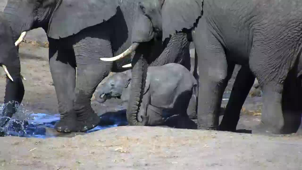 VIDEO: Elephants - a well hidden baby is also trying to drink
