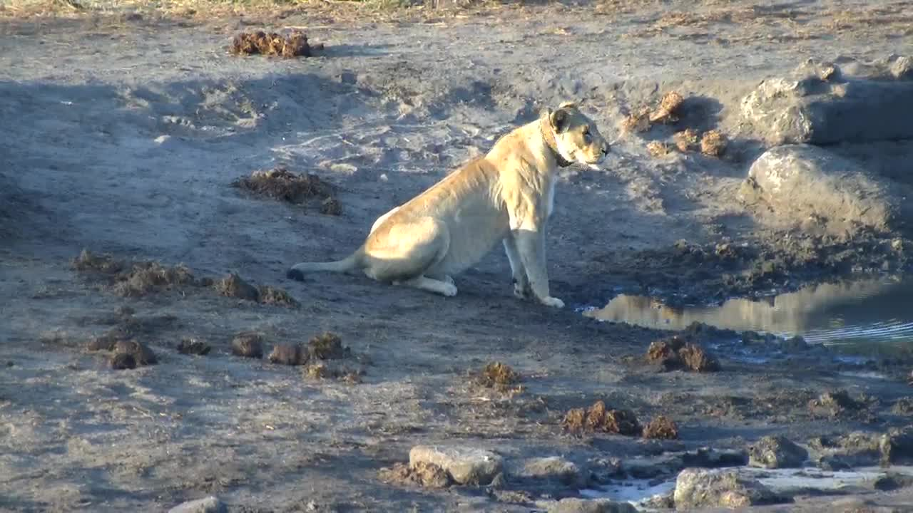 VIDEO: Lioness came for a drink and did some roars