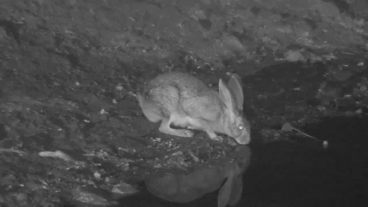 VIDEO:  Scrub Hare Having a Drink