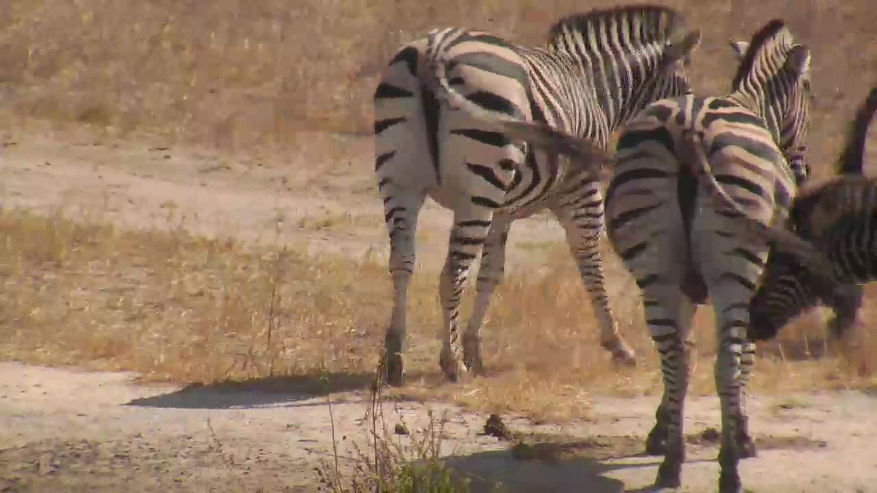 VIDEO: Zebras - very alert - at the bank of the waterhole