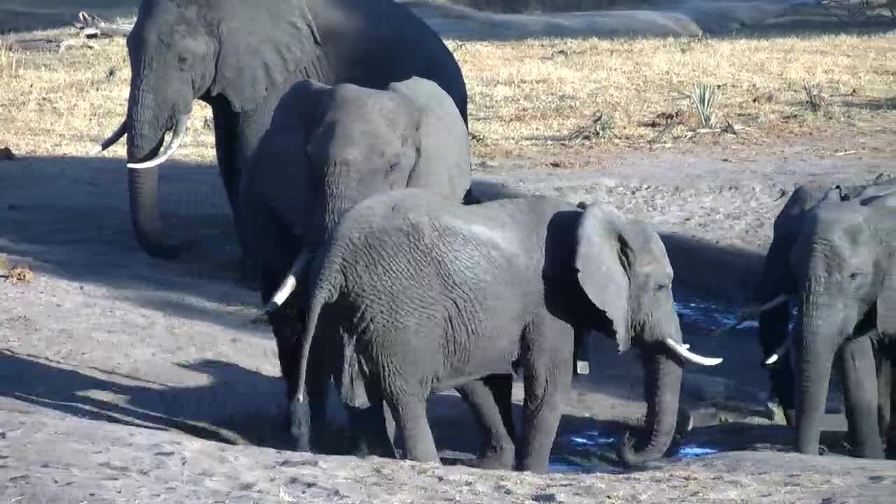 VIDEO: Elephants - young and old are enjoying the fresh water - one of the boys has only one tusk