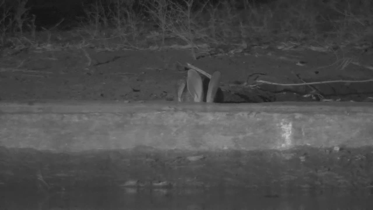VIDEO: Very thirsty Scrub Hare came for an extensive drink to the waterhole