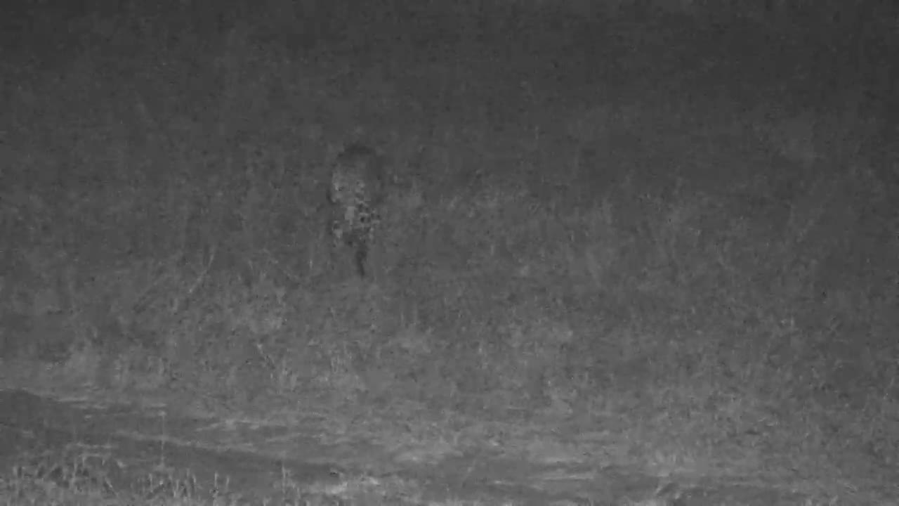 VIDEO:Pair of Mating Leopards